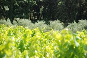 06 Domaine viticole et oléicole Les Perpetus 1