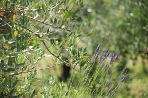 Huile d'olive fruité vert au Domaine Les Perpetus (2)