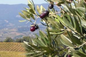 Huiles d'olives provençales