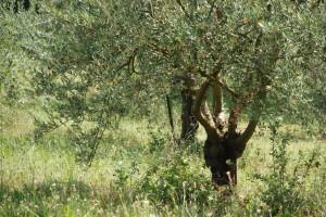 Huiles d'olive provençales au Domaine Les Perpetus