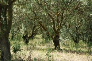 L'oliveraie, la culture et les variétés d'huile d'olive du domaine des Perpetus