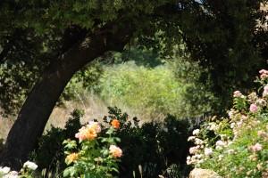 Roses et chênes au Domaine Les Perpetus