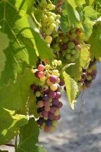 Vignoble en Provence - Domaine Les Perpetus 3