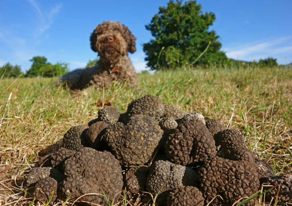 La truffe noire du luberon domaine les perpetus - Culture de la truffe ...