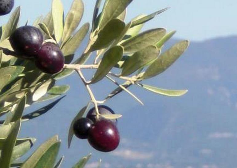 Variétés d'oliviers de Provence
