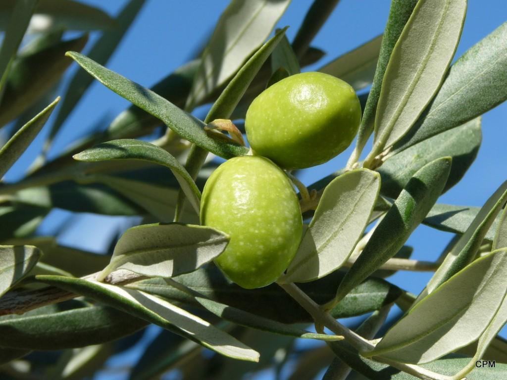 Fabrication de l huile d olive bio au Domaine Les Perpetus